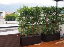 Bambus im Gefäss