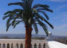 Cycas Palme