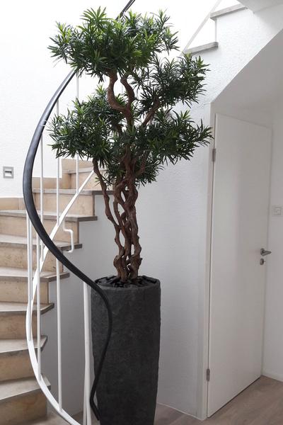 csm podocarpus bonsai 3e7963b85e dekohaus innenbegr nung und aussenbegr nung mit exklusiven. Black Bedroom Furniture Sets. Home Design Ideas