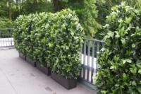Attika Terrassengestaltung mit Kirschlorbeer-Heckenpflanzen.