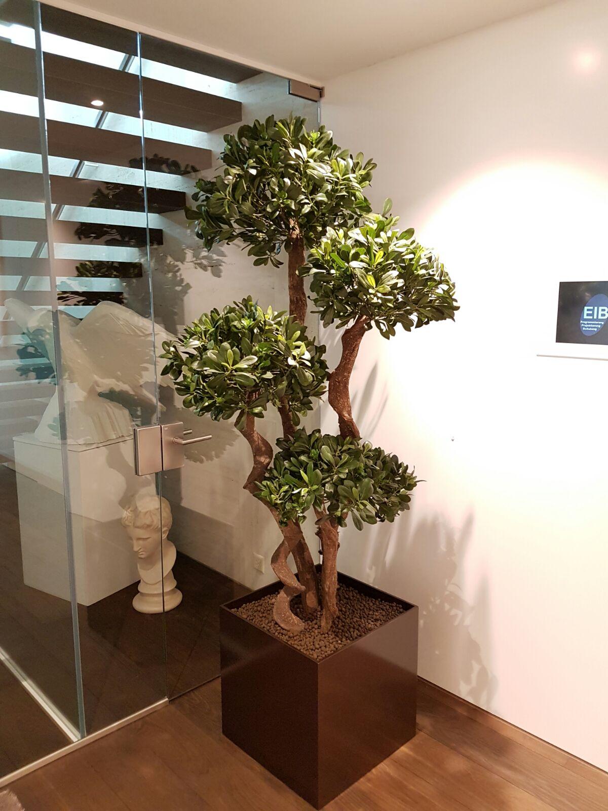 Hochwertiger Pittosporum Kunstbaum Bonsai als Innendekoration in einem Haus.