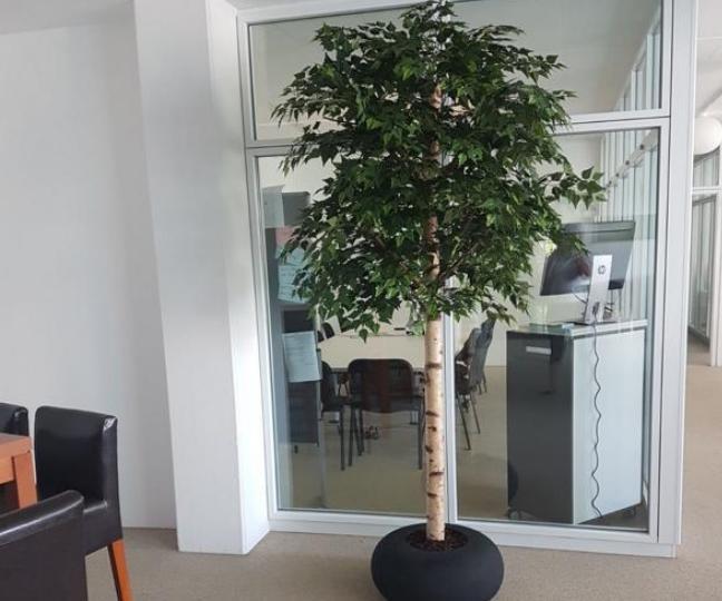 Bürobegrünung Zürich mit grossem Baum in edlem Pflanzgefäss.