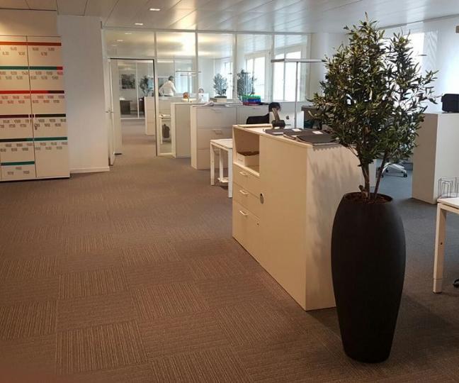 Bürobepflanzung Schweiz mit Olivenbäume in edlen Pflanzgefässe.